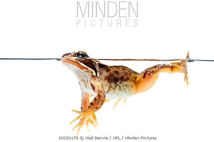 Common Frog (Rana temporaria) at surface, against white background Scotland, UK, July  -  Niall Benvie/ npl