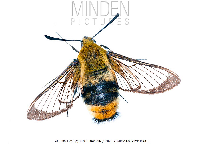 Narrow Bordered Bee Hawkmoth (Hemaris tityus) with worn wings, against white background France, August  -  Niall Benvie/ npl