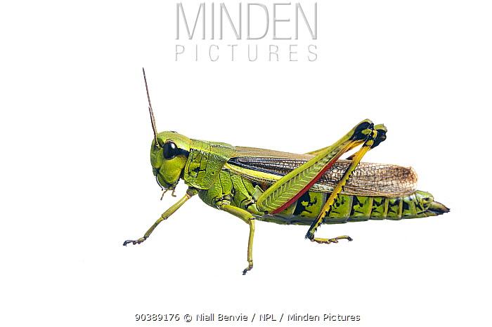 Large Marsh Grasshopper (Stethophyma grossum) against white background France, August  -  Niall Benvie/ npl