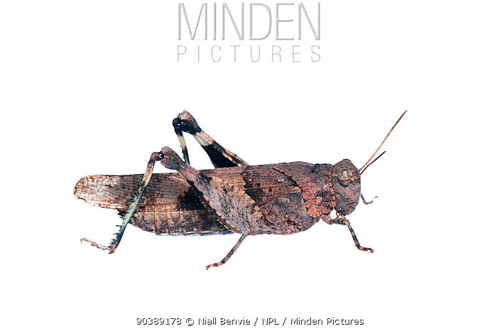Red-winged Grasshopper (Oedipoda germanica) against white background France, July  -  Niall Benvie/ npl