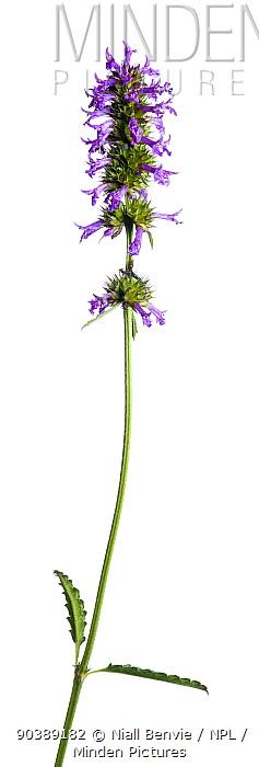 Betony (Stachys sp) flower spike France, August  -  Niall Benvie/ npl