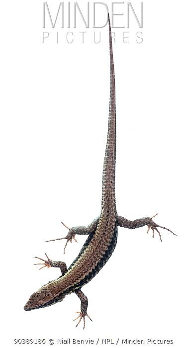Wall Lizard (Podarcis lilfordi) against white background France, August  -  Niall Benvie/ npl