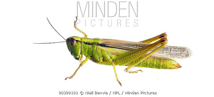 Meadow Grasshopper (Chorthippus parallelus) against white background France, August  -  Niall Benvie/ npl