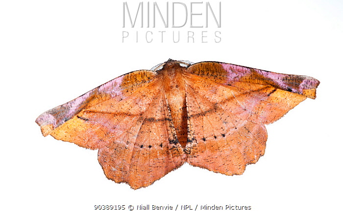 Lilac Beauty Moth (Apeira syringaria) against white background France, August  -  Niall Benvie/ npl