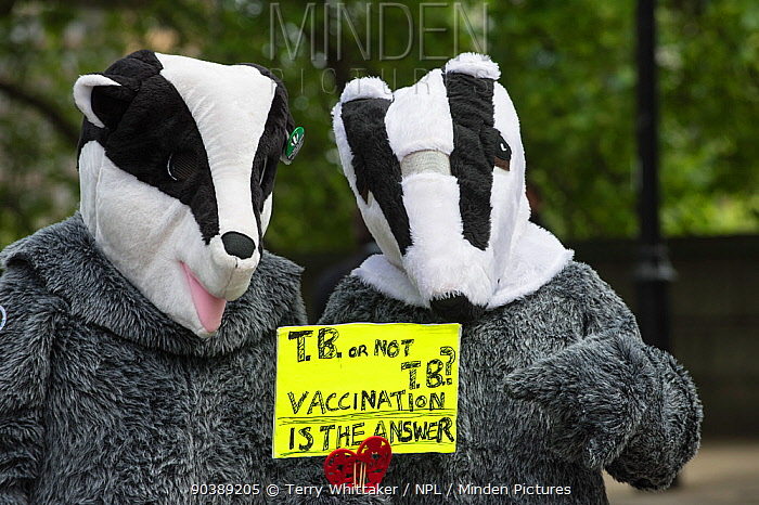 Two people in badger costumes holding a sign which says 'TB or Not TB, Vaccination is the answer' at anti badger cull march, London, 1st June 2013  -  Terry Whittaker/ npl