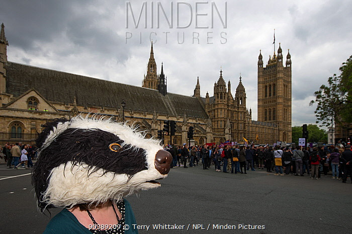 Anti badger cull protestor, with badger mask, outside the Houses of Parliament, London 1st June 2013  -  Terry Whittaker/ npl
