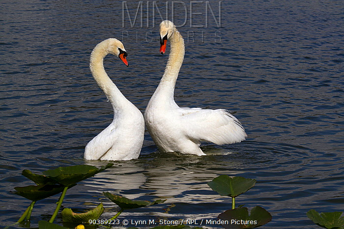 Mute swans (Cygnus olor) in courtship behaviour, bonded pair 'bowing' after copulation, North America, native to Eurasia, February, non-ex  -  Lynn M. Stone/ npl