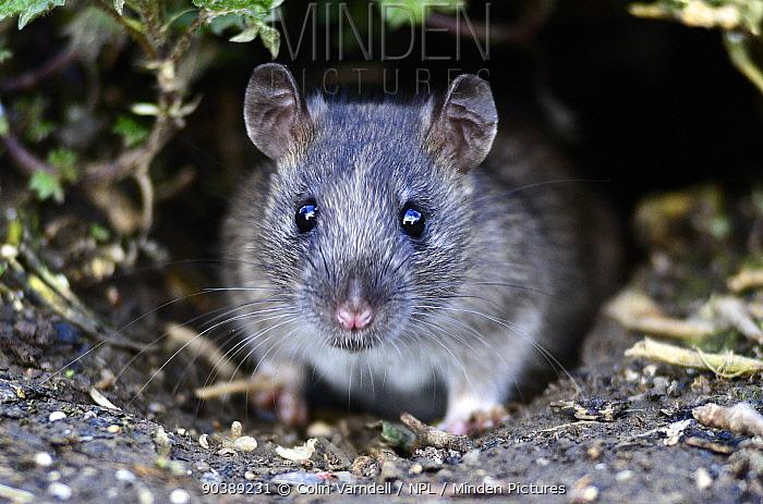 Juvenile brown rat (Rattus norvegicus) emerging from hole in ground Dorset, UK March  -  Colin Varndell/ npl