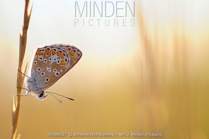 Common blue butterfly (Polyommatus icarus), Vallee de la Seille (Seille Valley), Lorraine, France, August  -  Benjamin Barthelemy/ npl