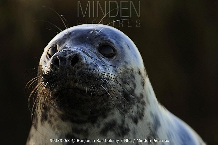 Grey seal (Halichoerus grypus), Donna Nook Lincolnshire Wildlife Trust reserve, Lincolnshire, England, UK, January  -  Benjamin Barthelemy/ npl