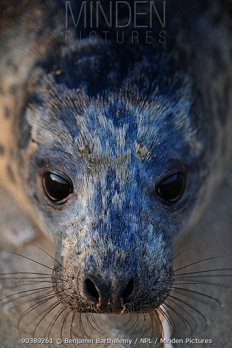 Close-up portait of a Grey seal (Halichoerus grypus), Donna Nook Lincolnshire Wildlife Trust Reserve, Lincolnshire, England, UK, January  -  Benjamin Barthelemy/ npl