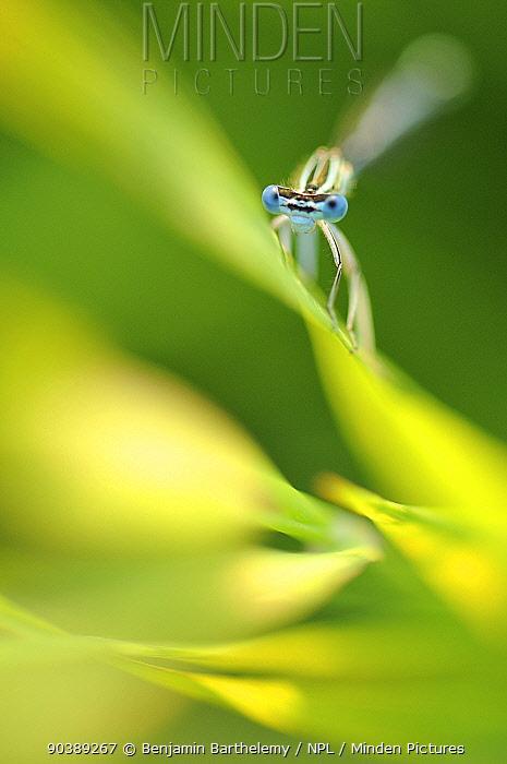 Male Azure damselfly (Coenagrion puella) resting on a leaf, Vallee de la Seille (Seille Valley), Lorraine, France, June  -  Benjamin Barthelemy/ npl