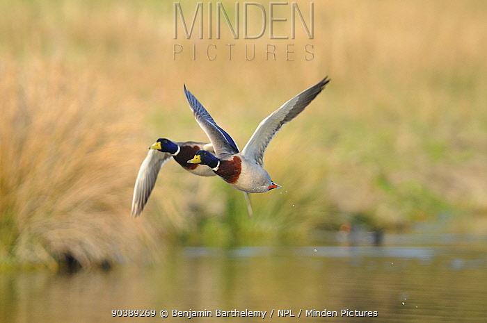 Two male Mallard ducks (Anas platyrhynchos) in flight Baie de Somme, Marquenterre, France, February  -  Benjamin Barthelemy/ npl