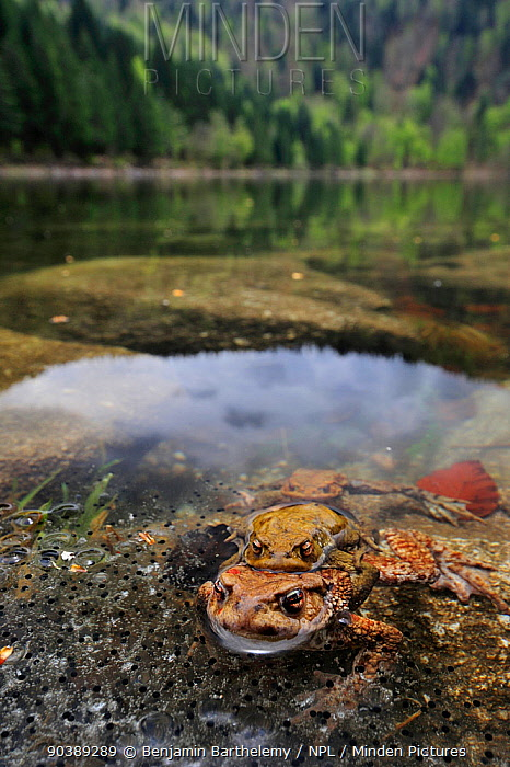Pair of Common european toads (Bufo bufo) pair in amplexus in the Lac des Corbeaux, with frogspawn, Ballons des Vosges Regional Natural Park, Vosges, Lorraine, France, April  -  Benjamin Barthelemy/ npl