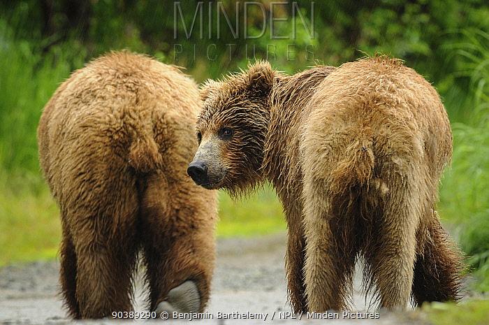 Two Brown bears (Ursus Arctos), Katmai National Park, Alaska, USA, July  -  Benjamin Barthelemy/ npl