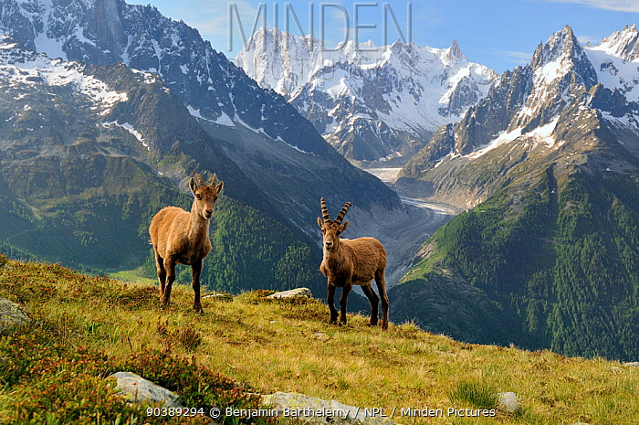 Male and female Alpine ibex (Capra ibex ibex) in front of the Mer de Glace glacier, Aiguilles Rouges (Red Peaks) Regional Natural Park, Haute-Savoie, France, June  -  Benjamin Barthelemy/ npl