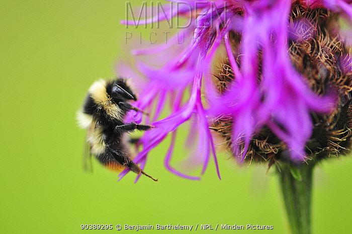 Bumblebee (Bombus) on flower, Vanoise National Park, France, July  -  Benjamin Barthelemy/ npl