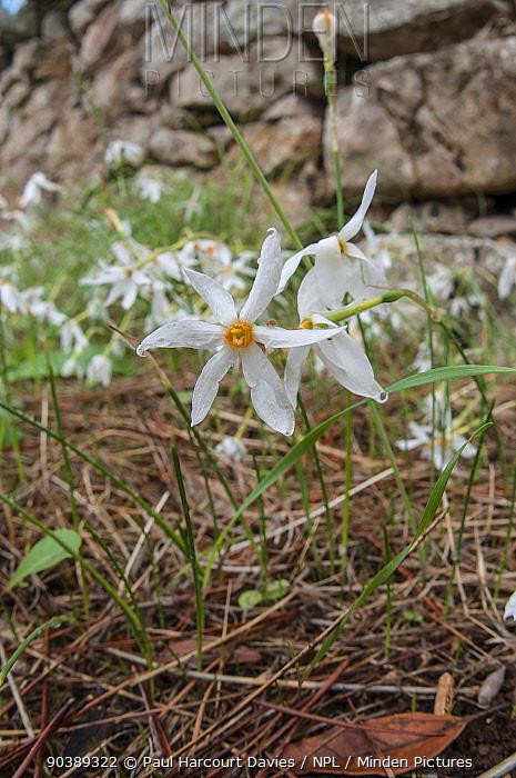 Late narcissus (Narcissus serotinus) in flower, Italy, September  -  Paul Harcourt Davies/ npl