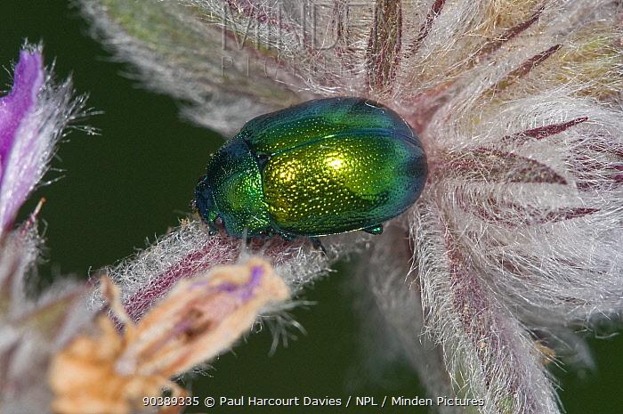 Leaf Beetle (Cryptocephalus hypochaerides) highly metallic beetle often on flower heads Garagano, Puglia, Italy, May  -  Paul Harcourt Davies/ npl