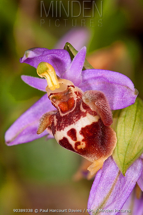 Candia's Ophrys (Ophrys candica, holoserica ssp candica, fuciflora ssp candica) in flower, near Plakias, Crete, April  -  Paul Harcourt Davies/ npl