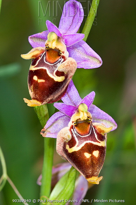 Heldreich's orchid (Ophrys heldreichii) in flower, Near Plakias Crete, April  -  Paul Harcourt Davies/ npl