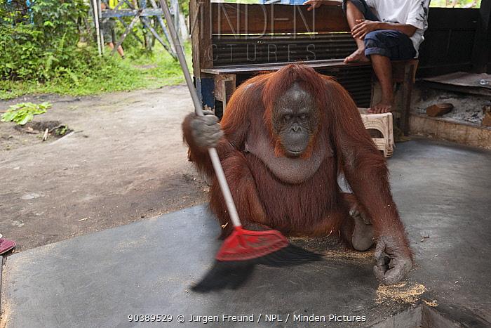 Bornean Orangutan (Pongo pygmaeus wurmbii), Siswi the Queen of the jungle of Camp Leakey saws a piece of firewood then sweeps the floor to clean away sawdust Tanjung Puting National Park, Borneo, Central Kalimantan, Indonesia  -  Jurgen Freund/ npl