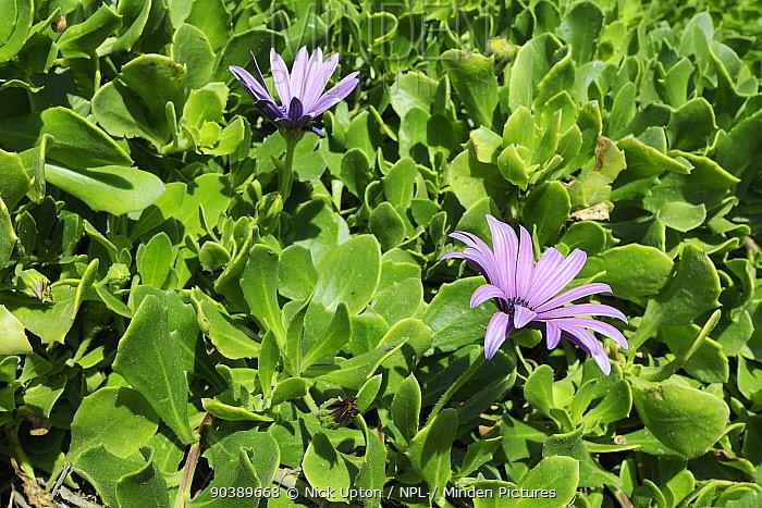 Cape Daisies, Cape marguerites (Osteospermum, Dimorphotheca ecklonis) in flower Praia do Martinhal, Sagres, Portugal, June  -  Nick Upton/ npl