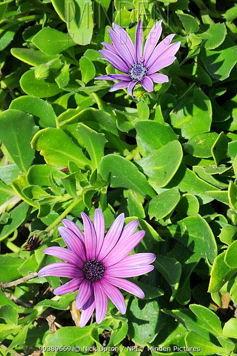 Cape Daisies, Cape marguerites (Osteospermum, Dimorphotheca ecklonis) in flower Praia do Martinhal, Sagres, Portugal, June  -  Nick Upton/ npl