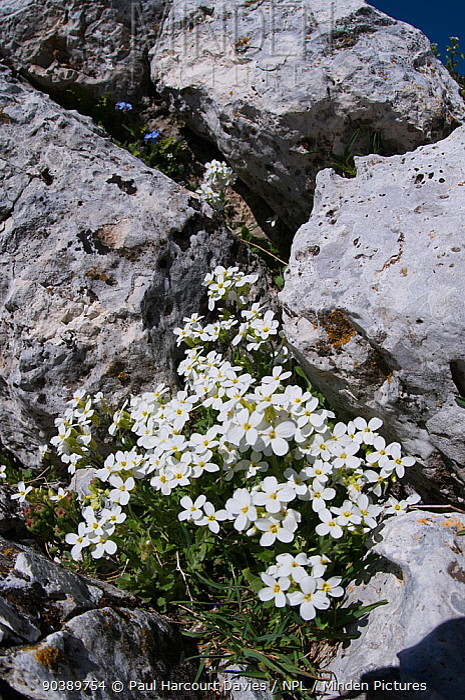 Alpine rockcress (Arabis alpina) in flower, Mount Vettore, Sibillini, Umbria, Italy, June  -  Paul Harcourt Davies/ npl