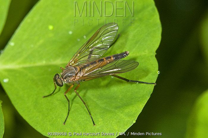 Snipe Fly (Rhagio scolopacea) on leaf, Orvieto, Umbria, Italy  -  Paul Harcourt Davies/ npl