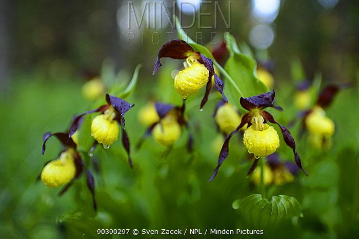 Lady's slipper orchids (Cypripedium calceolus) in bloom after spring rain, Northern Estonia, May  -  Sven Zacek/ npl