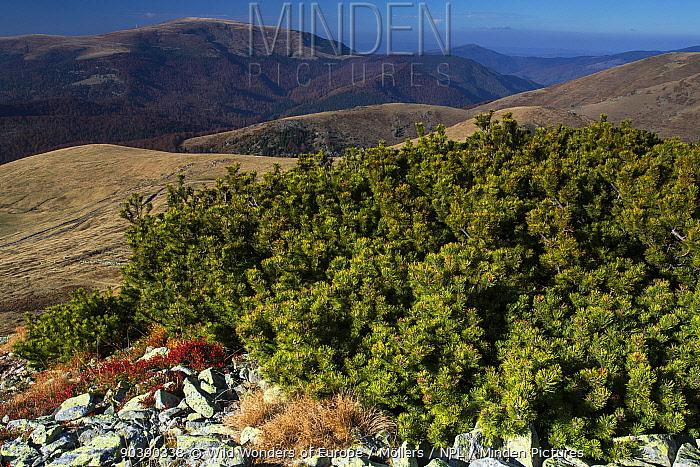 Dwarf pine (Pinus mugo) bushes on a slope in the Tarcu Mountains Natura 2000 site Southern Carpathians, Muntii Tarcu, Caras-Severin, Romania, October 2012  -  WWE/ Mollers/ npl