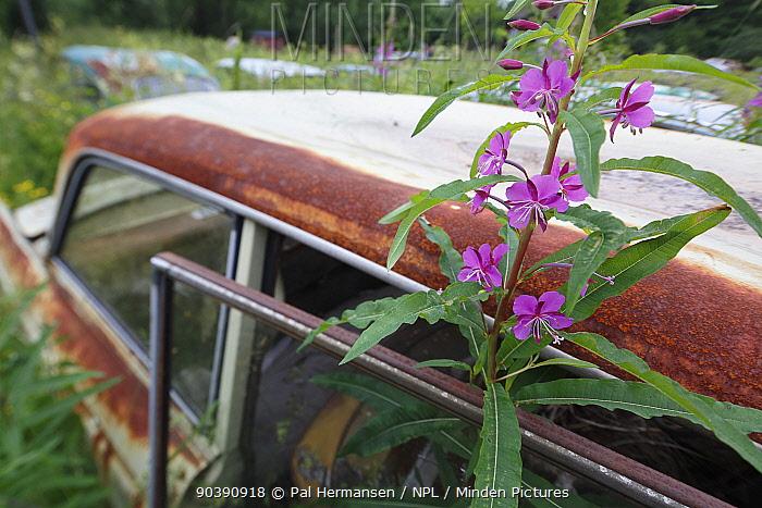 Rosebay willowherb (Chamerion angustifolium) in flower by abandoned car in 'car graveyard', Bastnas, Sweden July  -  Pal Hermansen/ npl