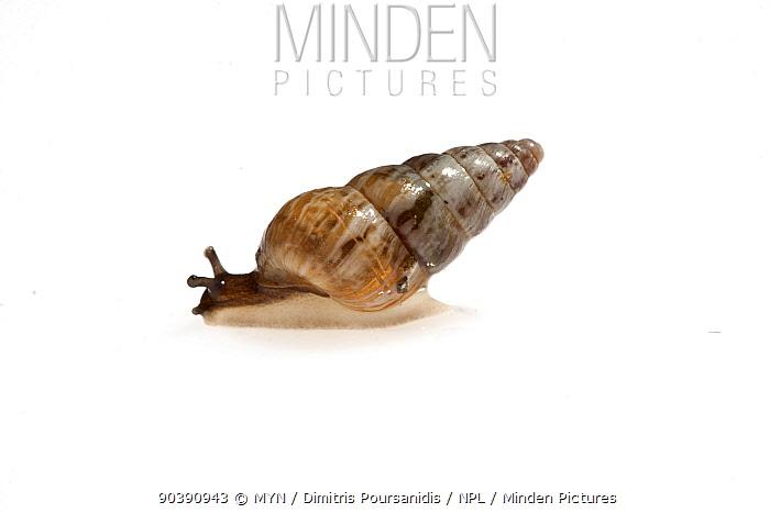 Small garden snail (unknown species) meetyourneighboursnet project  -  MYN/ Dimitris Poursanidis/ npl