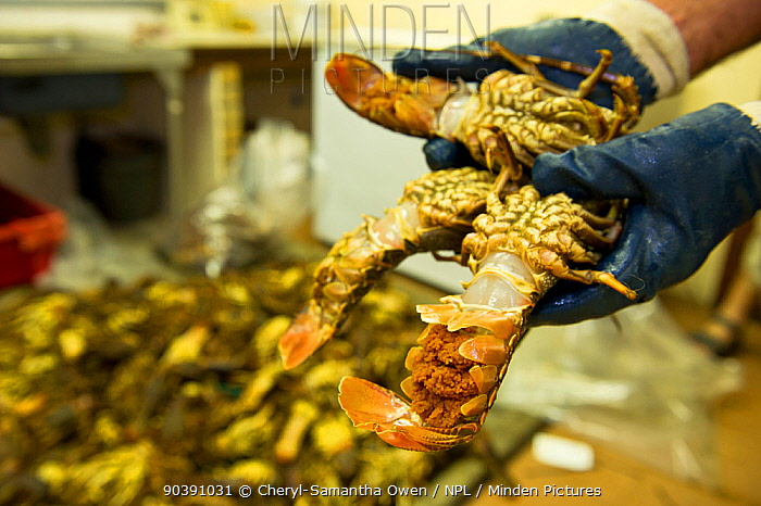West coast rock lobsters (Jasus lalandii) including female with eggs to be bagged and frozen in the Saldanha Bay police station They will be used as evidence against the poachers in court Law enforcement found this entire load of over 300 lobsters in one poacher's car Saldanha Bay, Western Cape, South Africa, January 2013  -  Cheryl-Samantha Owen/ npl