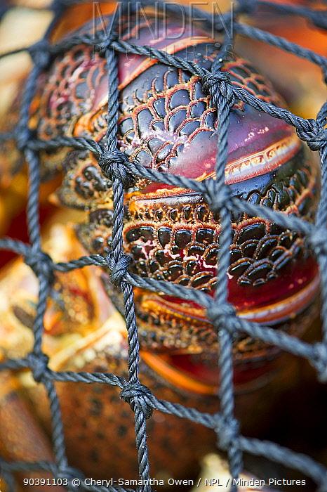 West coast rock lobster (Jasus lalandii) in a net and taken ashore Smitzwinkel Bay, Western Cape, South Africa  -  Cheryl-Samantha Owen/ npl