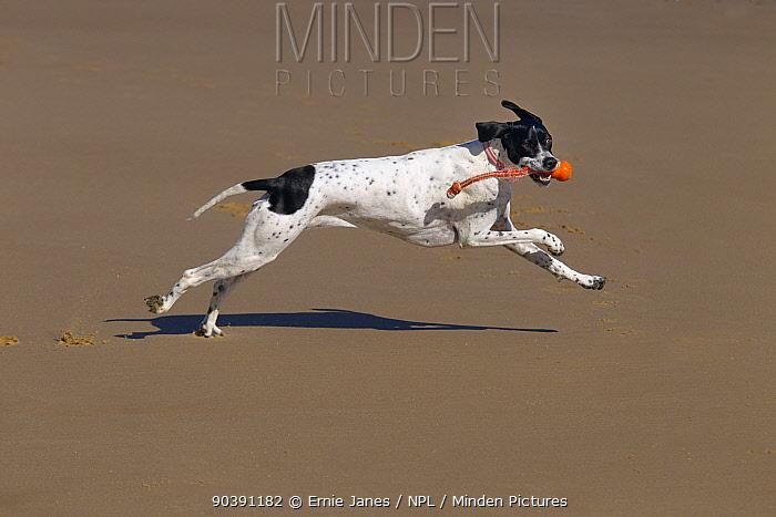 Pointer dog running along Norfolk beach, March  -  Ernie Janes/ npl