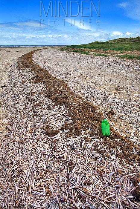Razor Shell (Ensis siliqua) washed up on Titchwell marsh, Norfolk, May  -  Ernie Janes/ npl