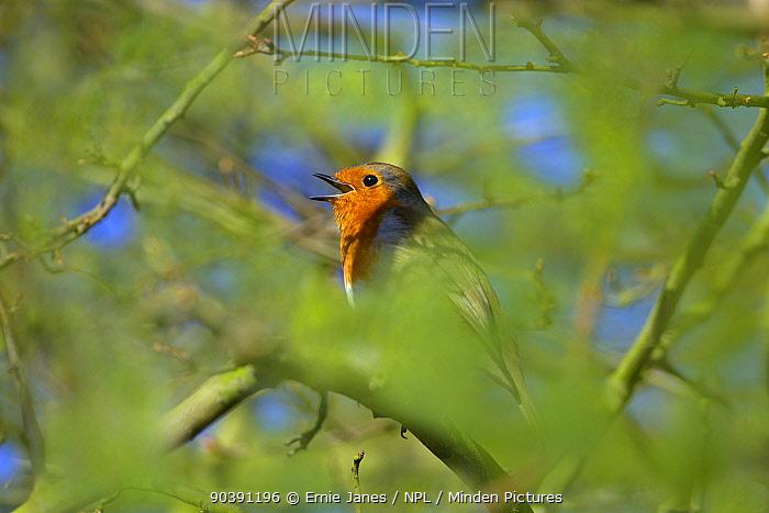 Robin (Erithacus rubecula) singing, UK, January  -  Ernie Janes/ npl