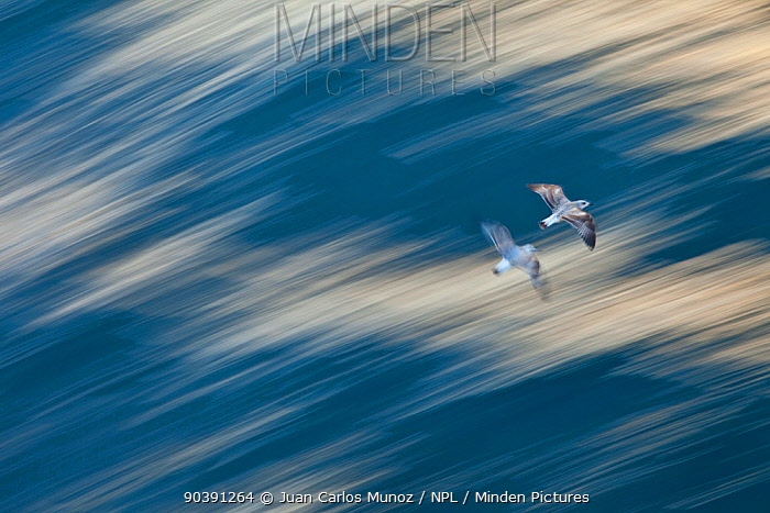 Two Greylag geese (Anser anser) in flight, Outer Hebrides, Scotland, April  -  Juan Carlos Munoz/ npl
