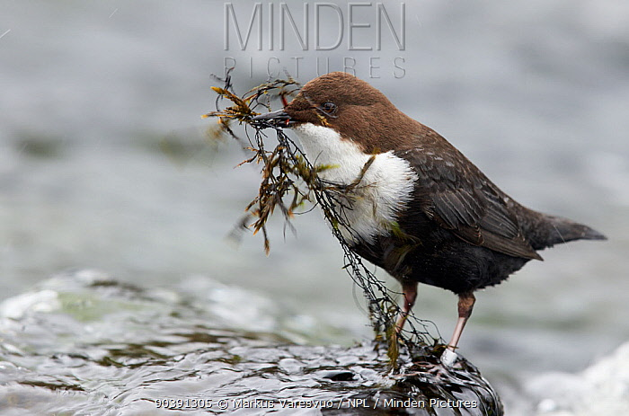 Dipper (Cinclus cinclus) with nest building material in its beak, Kuusamo, Finland, April  -  Markus Varesvuo/ npl