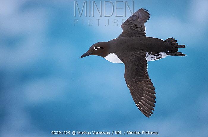 Guillemot (Uria aalge) in flight, Vardo, Norway, March  -  Markus Varesvuo/ npl