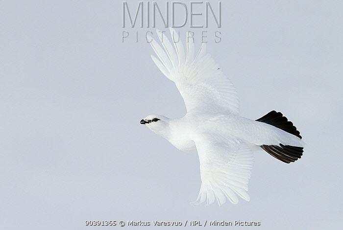Male Rock ptarmigan (Lagopus mutus) in flight, showing winter plumage, Utsjoki, Finland, April  -  Markus Varesvuo/ npl