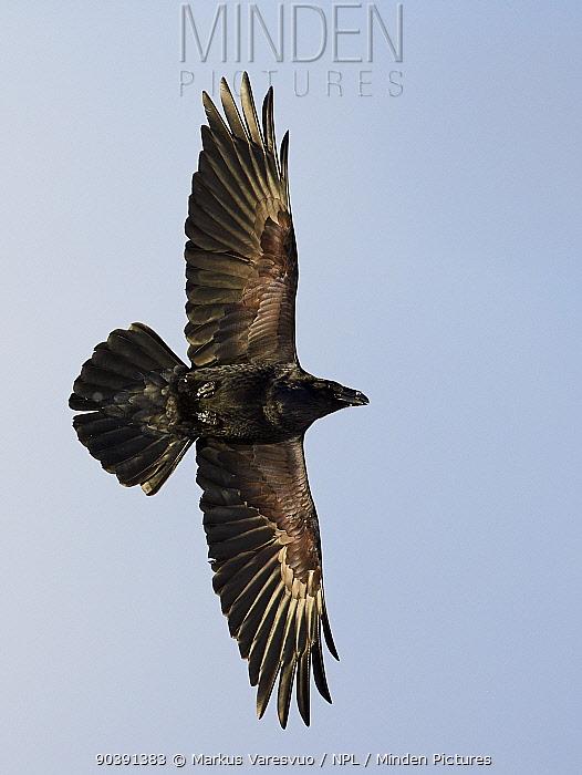Common raven (Corvus corax), Vardo, Norway, March  -  Markus Varesvuo/ npl