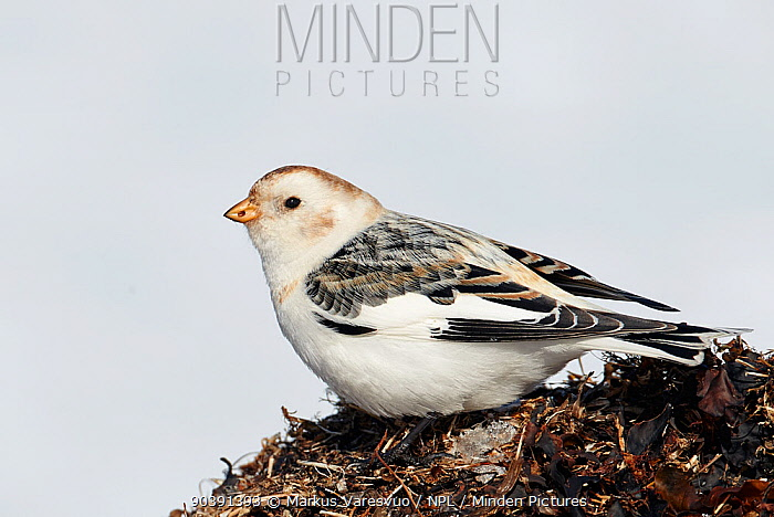 Snow bunting (Plectrophenax nivalis) in winter plumage, Uto, Finland, March  -  Markus Varesvuo/ npl