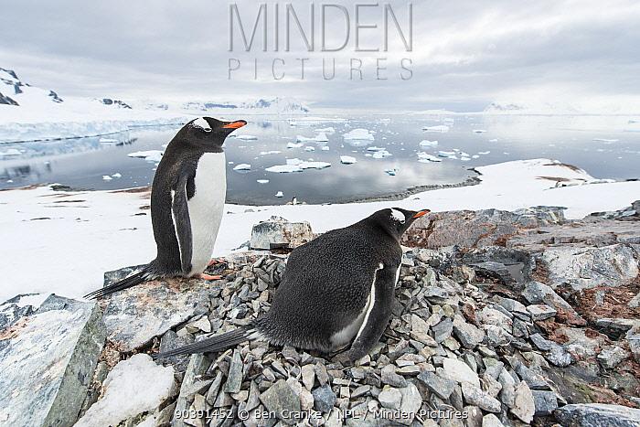 Gentoo Penguin (Pygoscelis papua) pair with nest, Cuverville Island, Antarctic Peninsula, Antarctica, nesting, nest building, courtship  -  Ben Cranke/ npl