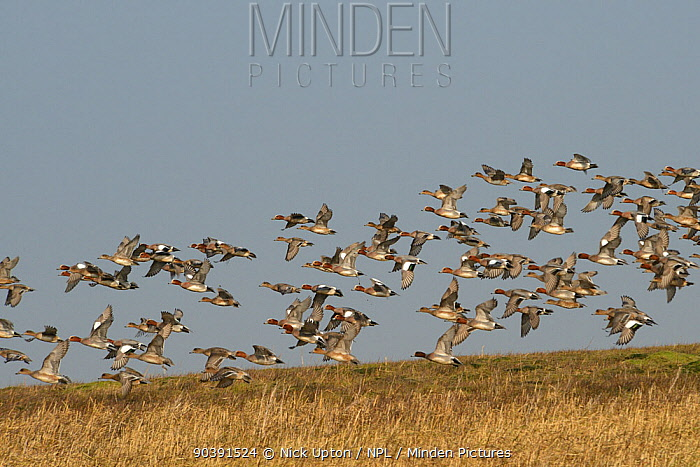Wigeon (Anas penelope) flock flying low over mudflats past dense stand of Spartina, Cord grass (Spartina sp) on tidal saltmarsh, Severn estuary, Somerset, UK, March  -  Nick Upton/ npl