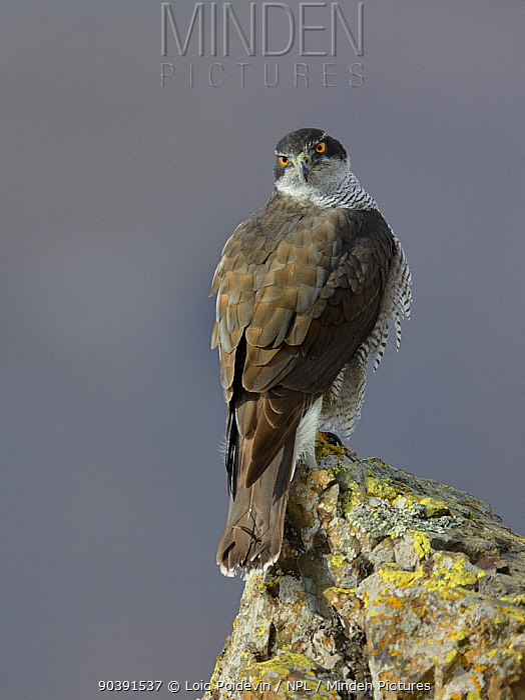 Northern Goshawk(Accipiter gentilis) on a rocks, Bulgaria, February  -  Loic Poidevin/ NPL