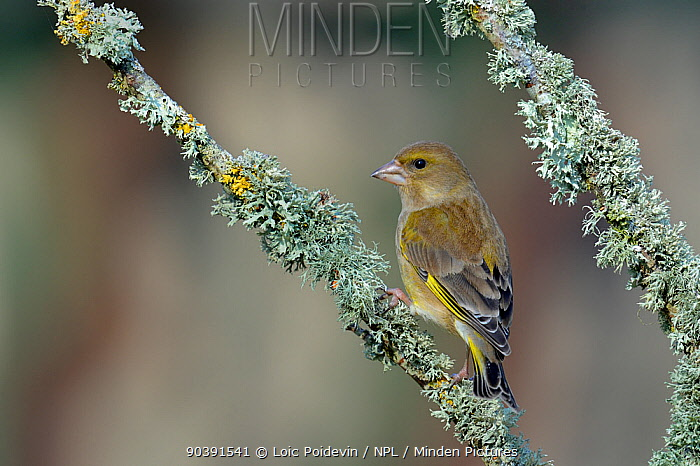 European Greenfinch (Carduelis chlorus) on a branch with lichens, West France, March  -  Loic Poidevin/ NPL