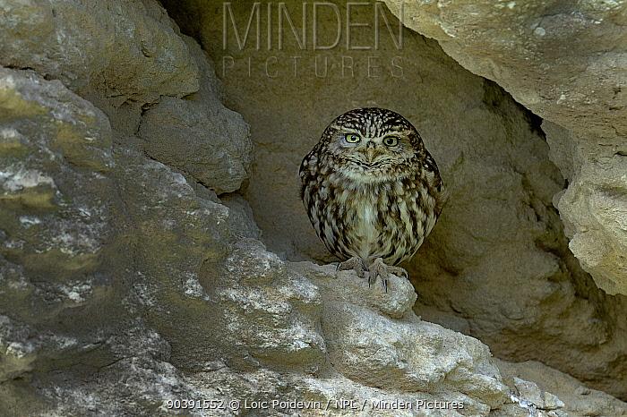 Little Owl (Athene noctua) in limestone cliff, France, April  -  Loic Poidevin/ NPL